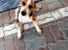 كبلة للتبني dog for adoption