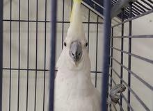 parrot crown
