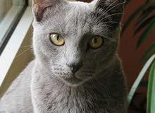 قطة روسي أزرق