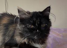 قطة بجواز انثى العمر 5 شهور