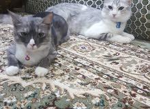 قطط للبيع (ذكر و انثى)