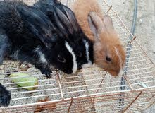 ارانب للبيع بحاله ممتازه