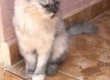قطه شيرازيه أليفه جدا