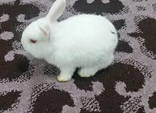 أرانب انثى