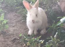 مطلوب ارنب ذكر هولندي