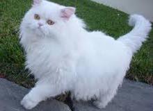 قطة جميلة بس محلقة