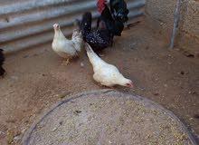 خمسة دجاجات وديك