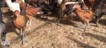 دجاج عماني تربية مزرعه صالح للأكل والبيض