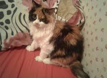 قطه شيرازي مون فيس حامل والولادة بعد شهر
