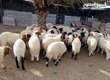 مطلوب خروف
