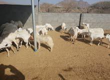 دفعة جديدة من الاغنام اليمنية البيضاء للذبح او التربية