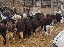 Sheep or goats for investment or breeding purpose
