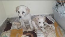 Labrador puppy & Rothwailer Puppy