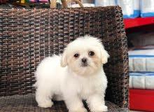 مالتيز بيور للبيعPure Maltese puppy