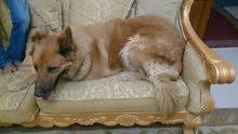 كلب مولد قوقازي