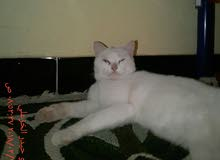 قطه شيرازيه مع أفراخها