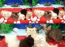 مطلوب قطة فارسية للتبني