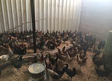 دجاج بشاير للبيع