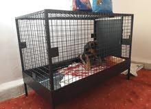 كلب روت فايلر امريكي شهرين وتلات اسابيع. اقرا التفاصيل