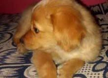 كلبة جولدن لاعبية وشقية