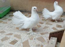 زوج طيور زينه
