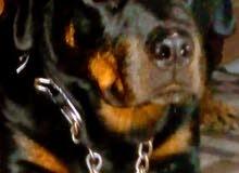 كلبة روت ويلر