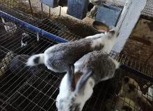 ارانب بالتقسيط و الجملة
