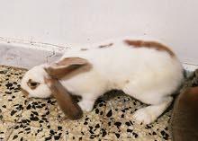 كوبية ارانب الماني للبيع