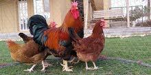 للبيع دجاج ساسكس