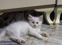قطط شيرازي  ابيض عمر 50يوم شعر طويل لعوبات