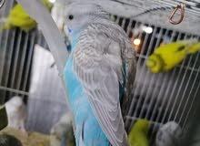 عصافير بادجي للبيع نوع هاجرمو انكليزي تشكيلات