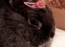 ارنب نذرلاند للبيع