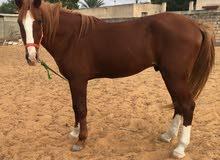 حصان للبيع او استبدال بغنم