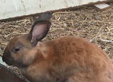 أرنب ذكر وانثى هولنديات