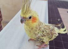 طيور كوكتيل