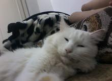 قطة شيرازي للبيع اعين خضراء وزرقاء