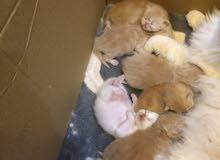 كيتنز هيمالايا بيرشن - Kittens Himalaya Perchin