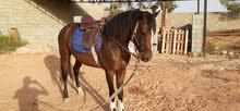 حصان  ولد سحاب عمر 4 سنوات