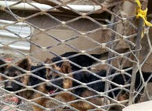 كلاب جرمني العمر 5شهور. ذكر وأنثى