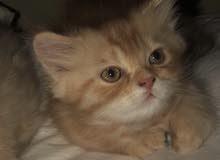 قط شيرازي صغير عمره ستين يوم للبيع