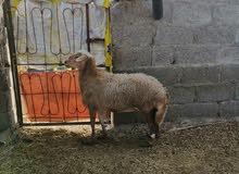 جاعده مطعومها اكثر من سنه متروسه لحم تصلح للتربيه او الذباح..........