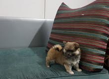 كلب بومرينيان pomeranian بحجم كف اليد