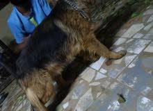 كلب جيرمن شيبرد شولاين لونق هير