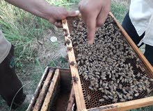 عسل  طبيعي خالص