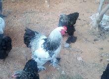 دجاج براهمي