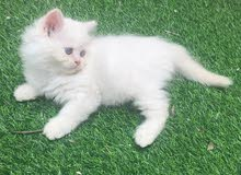 for sale kitten male