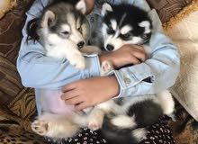 husky pure pure