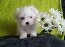 مطلوب كلب شيتزو او مالتيز للبيع