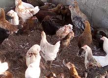 دجاج هجين العمر 3اشهر مناسب للذبح