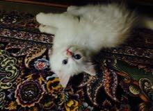 قطه شيرازيه صغيره عمر 3 اشهر